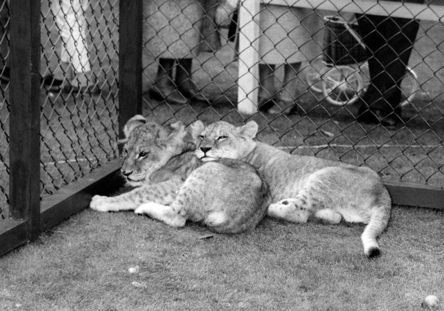 Lejon inlånade från Köpenhamns Zoo. Foto: Liseberg.