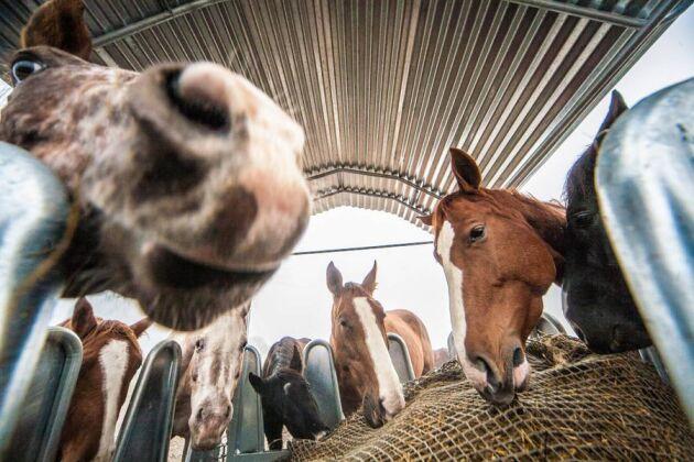 Foderhäckar. Hästarna utfodras i foderhäckar som kan fyllas från utsidan hagen med hjälp av en traktor.