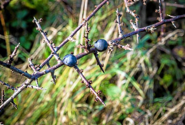 Slånbär kan bland annat användas till gelé, vin, saft och likör.