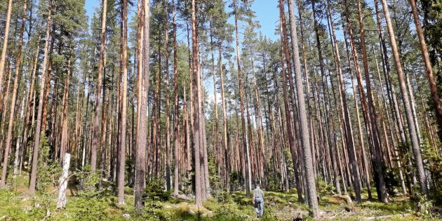 Reslig tallskog ger skogsro