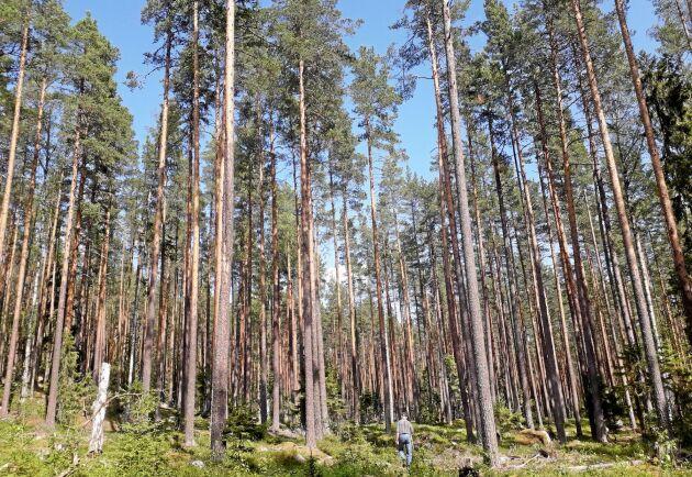 Den resliga tallskogen i Brunflo.