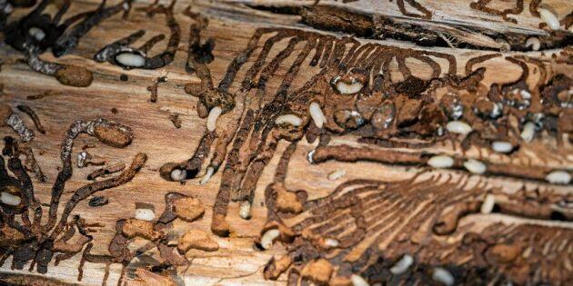 Skogsstyrelsen föreslår krafttag mot granbarkborre