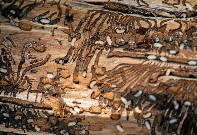 Granbarkborrslarverna är osedvanligt många och hungriga i år.