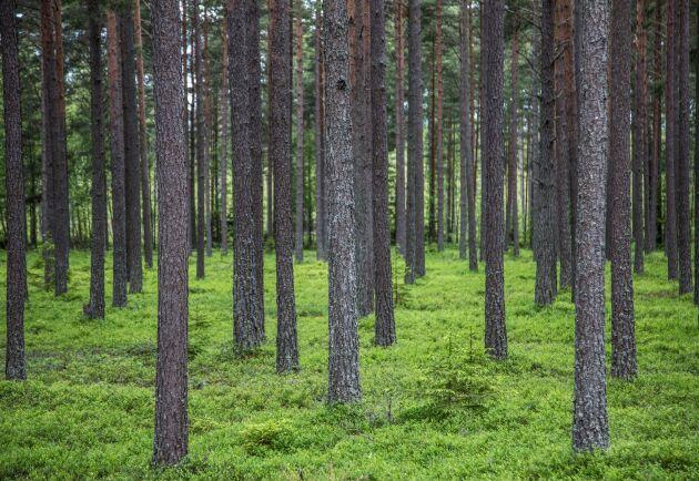 Oavsett hur bestånden ser ut finns individer som är bättre än andra. Inom skogsträdsförädlingen korsas de med varandra för att förbättra avkommans egenskaper.