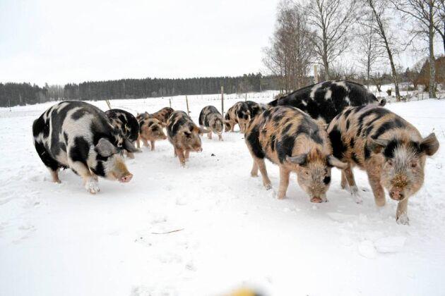 Det var inte helt självklart att det skulle bli grisuppfödning på gården. Det kunde lika väl ha blivit odling av gamla spannmålssorter för ett litet bageri eller en småskalig mjölkproduktion för ett ysteri.
