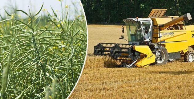 Skörden av oljeväxter beräknas bli 36 procent lägre än normalt och spannmålsskörden beräknas minskar med 25 procent.