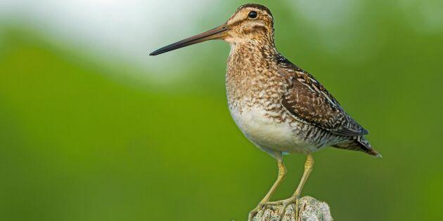 Fågelbingo! Sensationella vårbesök av tre sällsynta arter