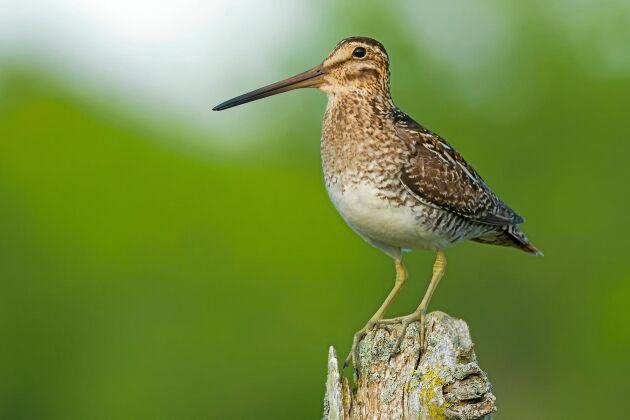 Wilsonbeckasin kan vid det här laget ha parat sig med en enkelbackasinhona, menar ornitologen Anders Wirdheim.