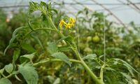 Växter kan göra skadedjur till kannibaler