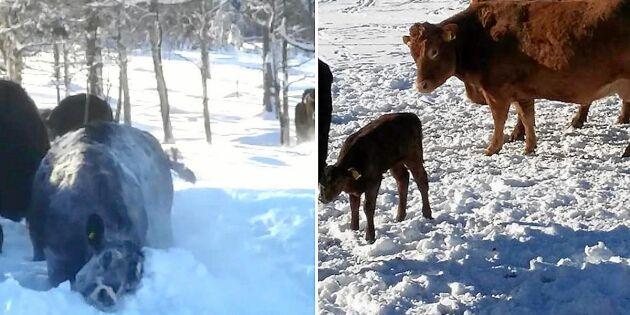 Kolla in söta klippet på kossorna som får glädjefnatt i snön!