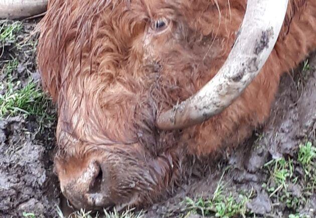 Tjurens horn hade vuxit sju centimeter in i tjurens munhåla.