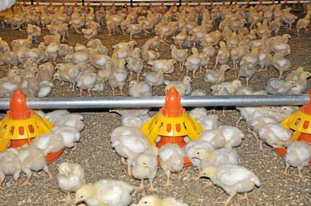 Jordbruksverket tror att det kan dröja minst ett år innan produktionen är uppe på samma nivå som i dag.