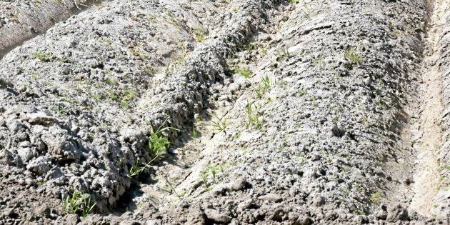 Torkan kan kosta danska jordbruket enorma summor
