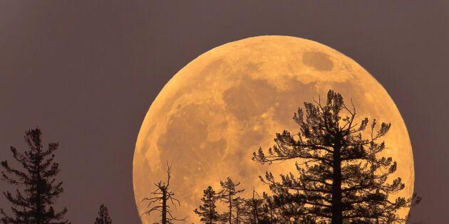 Se upp för supermånen – som störst i kväll