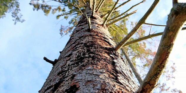 Granbarkborren styr årets skogsavverkning
