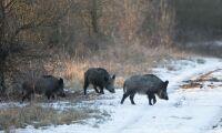 """""""Skottpeng skulle öka jakten på vildsvin"""""""