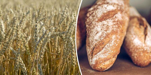 Stora skördar kan ge billigare bröd