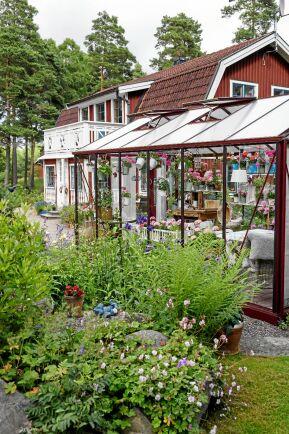 Växthuset har de byggt på egen hand – och det fungerar som en ren njutningsplats året runt. Där inne odlas framför allt pelargoner. Utanför växer nävor och ormbunkar.