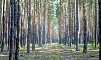 Talldoft ger frodigare skogar