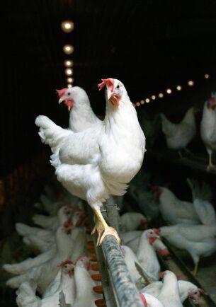 Newcastlesjuka är en mycket smittsam virussjukdom som drabbar fjäderfän och andra fåglar.