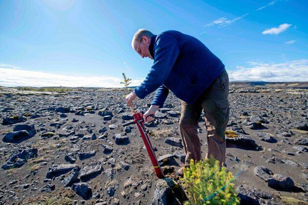 Hreinn Oskarsson, som arbetar vid den isländska skogsstyrelsen, planterar träd i närheten av Thorlákshöfn på Island i maj 2019. Arkivbild.