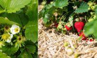 Trots frosten – jordgubbarna räddade till midsommar