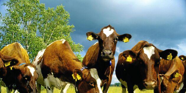 Sveriges Mjölkbönder om nya beteslagen