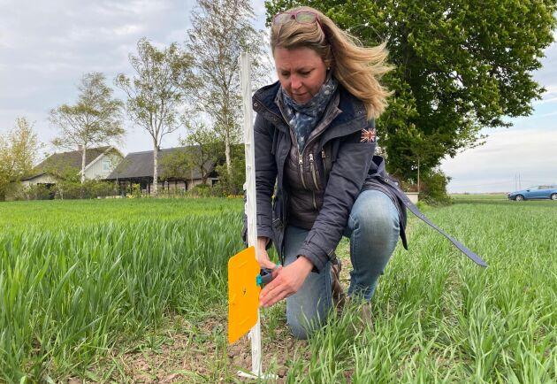 Therese Christerson, Växtskyddscentralen i Alnarp, sätter ut klisterfällor i ett vårvetefält.