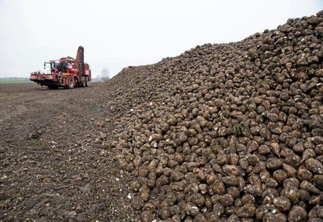 Jätte. Utan last väger Holmers betupptagare 37 ton. Med full last kommer den upp i över 60 ton. De tre axlarna behövs för att fördela vikten på leråkern.
