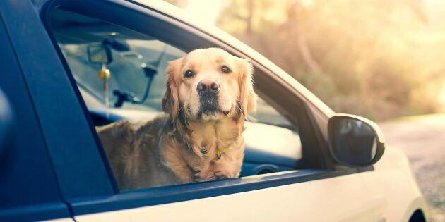 Hunden i bilen – det här är reglerna du måste ha koll på!