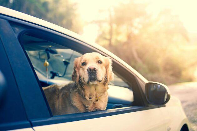 Hunden får åka i framsätet i bilen men måste sitta i bur eller i sele – en lös hund ger dyra böter och i värsta fall en skadad hund. Kom i håg att koppla ur krockkudden!