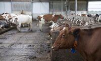 Holländska kor producerar för mycket gödsel