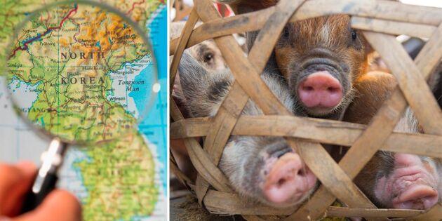 Afrikansk svinpest drabbar redan pressat Nordkorea