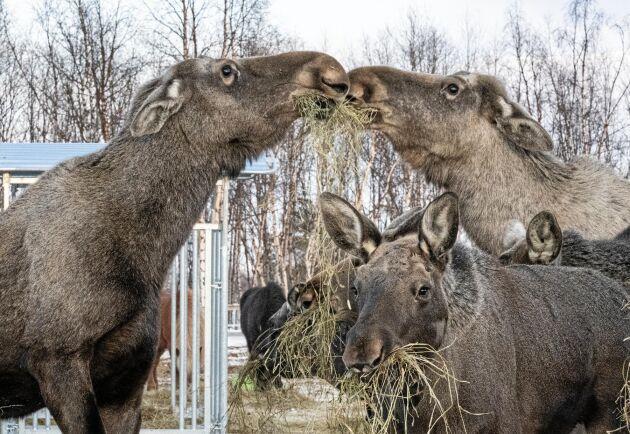Islandshästar och älgar samsas om ensilaget på hästföretaget Ofelaš utanför Kiruna.
