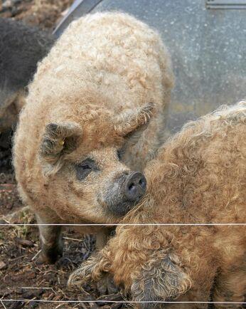 I en hage bökar tre suggor och en galt av rasen magnalitsa, ungerskt ullsvin, runt i leran.