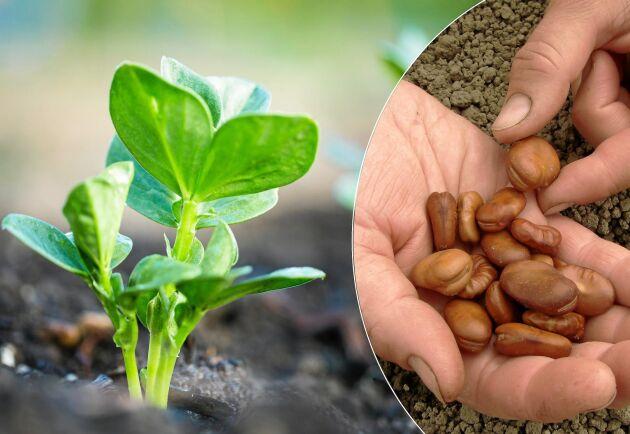 Knubbiga skott av bondböna går att odla inne.