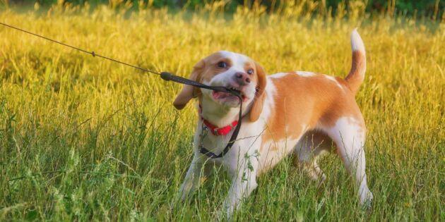 GUIDE: Så tränar du bort hundens ovanor
