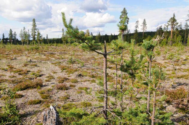 Betesskador i Västerbotten.