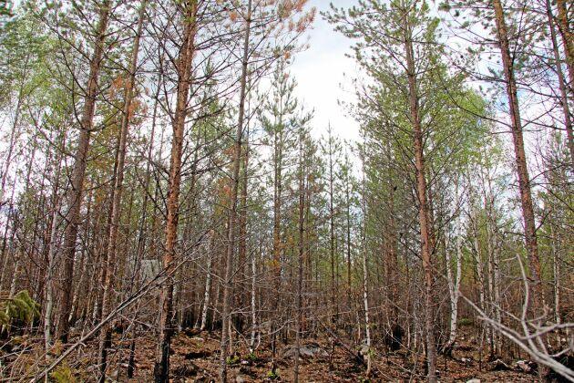 I vissa bestånd är kronorna gröna och träden tycks ha klarat sig i branden.