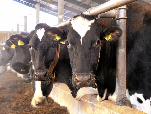 Arkivbild. Många kor ger mycket gödsel, och kanske mycket böter, i Tyskland.