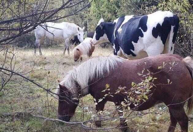 Hilda trivs bra bland hästarna i hagen. Ingen instans har kunnat påstå att kon far illa utan en artfrände.