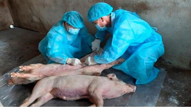 Prover tas från grisar som har avlivats i Duc Hoa distriktet, i Long An provinsen i Vietnam.