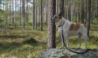 Nu måste hunden kopplas i skogen