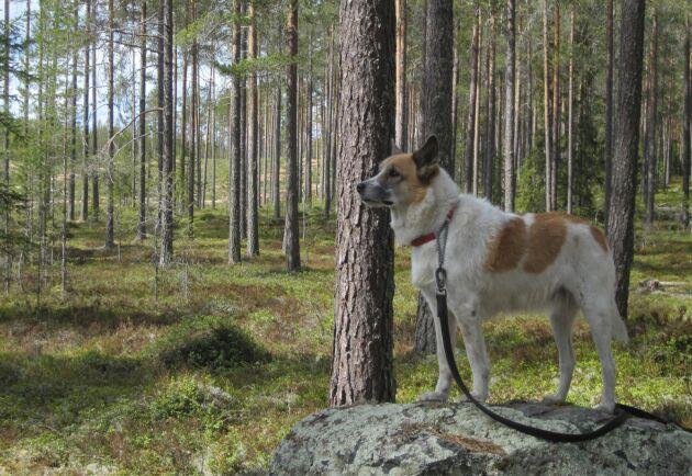Hundar måste antingen kopplas eller hållas inom en meter ifrån sin ägare under perioden första mars till tjugonde augusti.