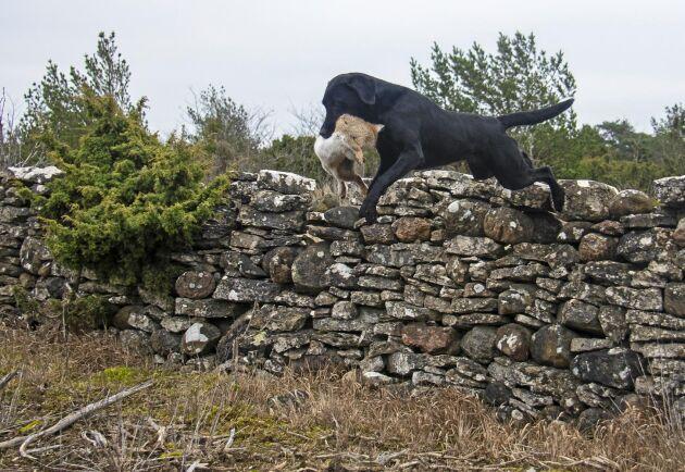 En stark och lydig apportör som labradoren Gin är en viktig deltagare under kaninjakten. En skadskjuten kanin som tar sig ned i ett hål når du inte och den kan plågas svårt.