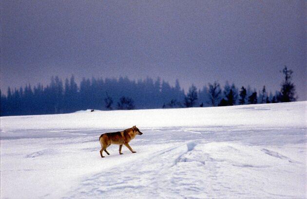 För att få en bild på vargen i Härjedalen fick Göran vänta flera dagar på att den skulle komma tillräckligt nära.