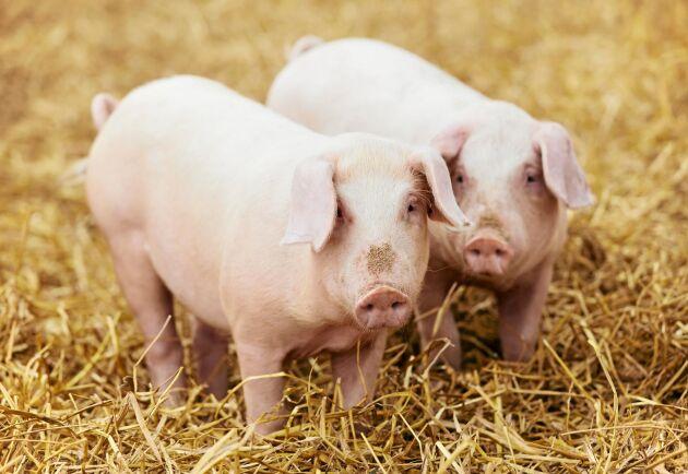Svenska grisar får halm och strö att böka i. Det håller dem friska och glada.