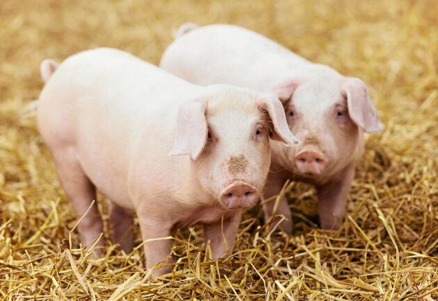 Ekologiska grisar får lämna stallet och komma ut.