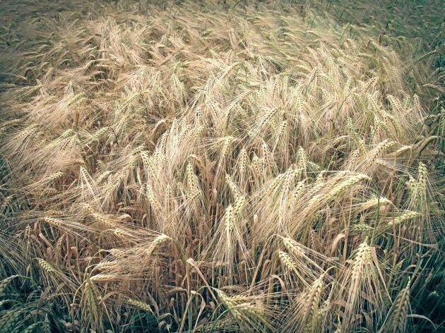 Korn där agnborsten inte pekar uppåt. Arkivbild.