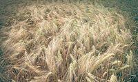 Tidigaste skörden på 60 år för tyska bönder